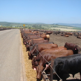 Triple a beef feedlot
